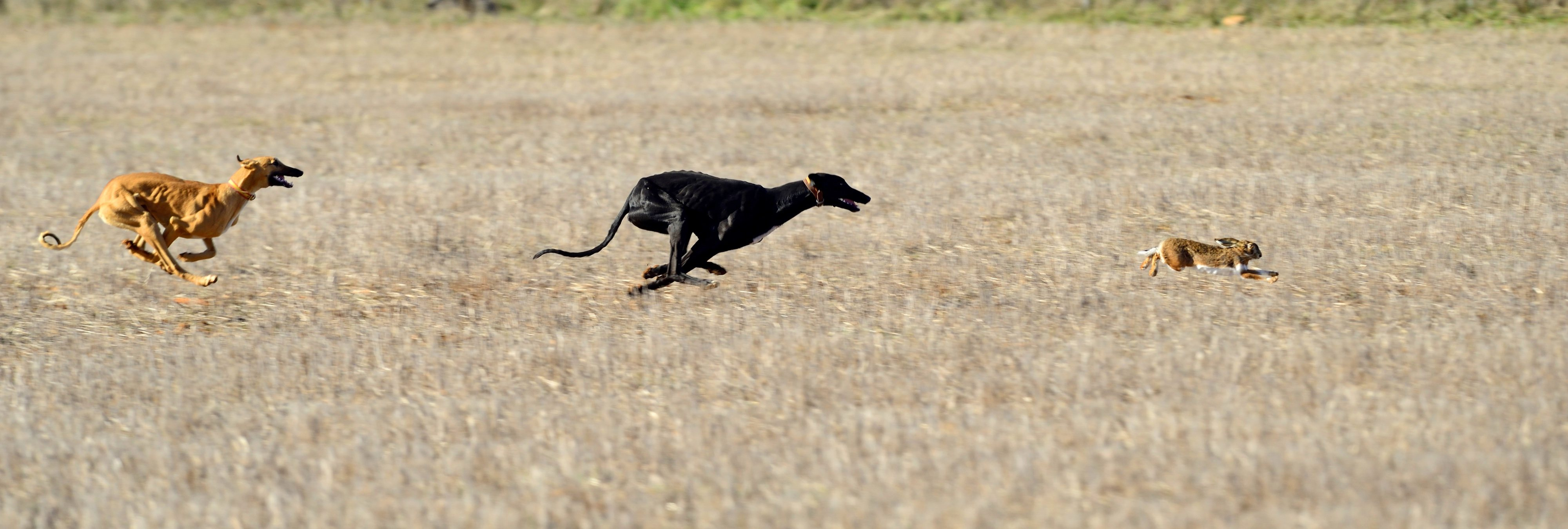 Los cazadores españoles dejan morir hasta 50.000 galgos tras la temporada de caza