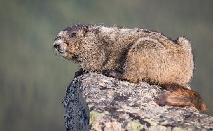 Está prohibido cazar marmotas