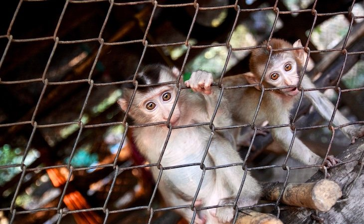 Los experimentos transgénicos con primates suponen un retroceso en la explotación animal