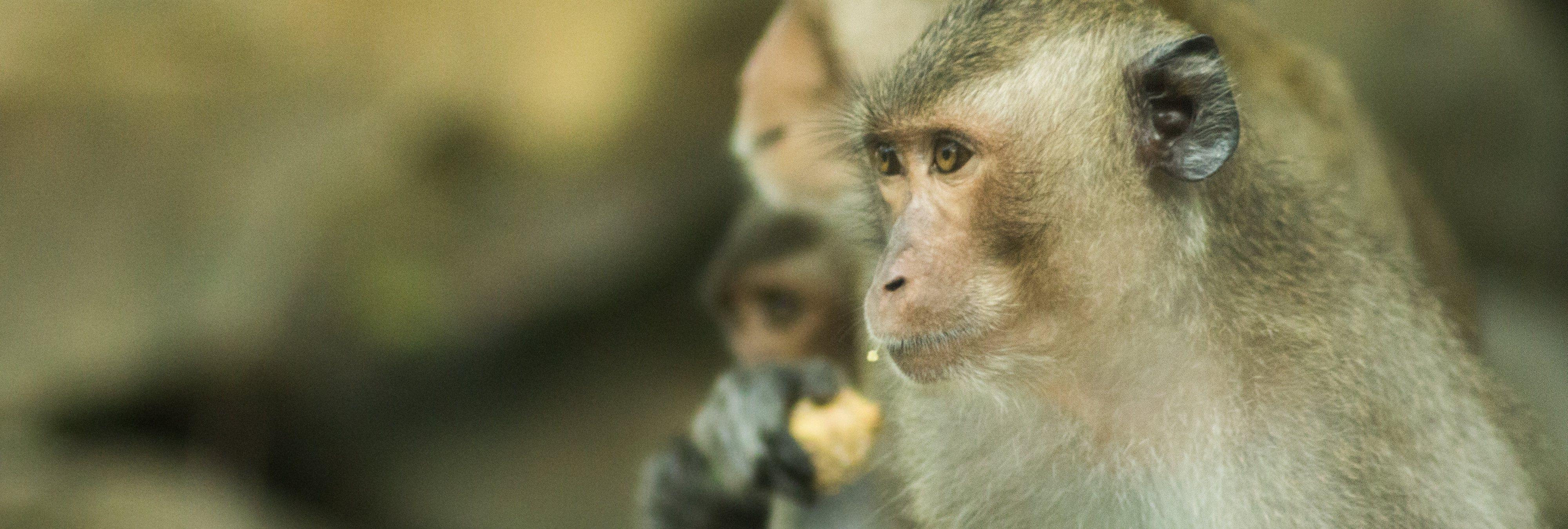 Monos transgénicos: les implantan genes humanos para crear simios superinteligentes