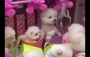 Una maquina expendedora de gancho utiliza como premio a cachorritos vivos
