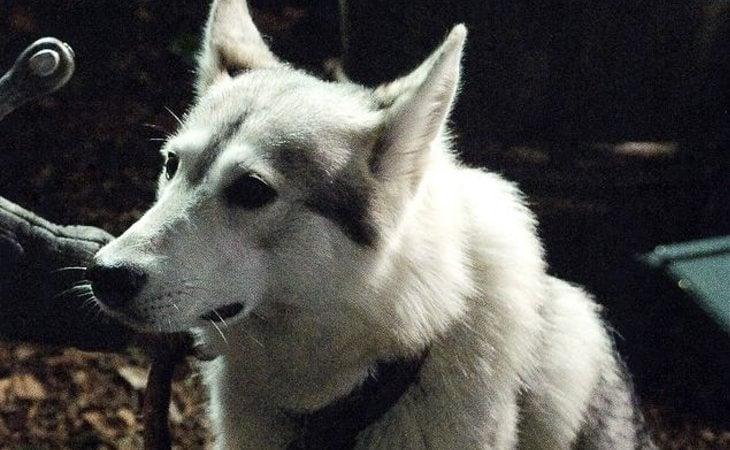 Dama, la loba huargo de Sansa Stark
