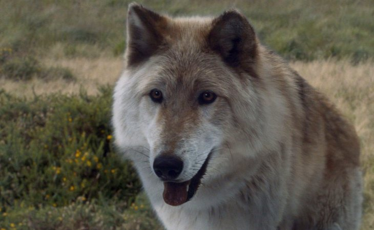 Verano, el lobo huargo de Bran Stark
