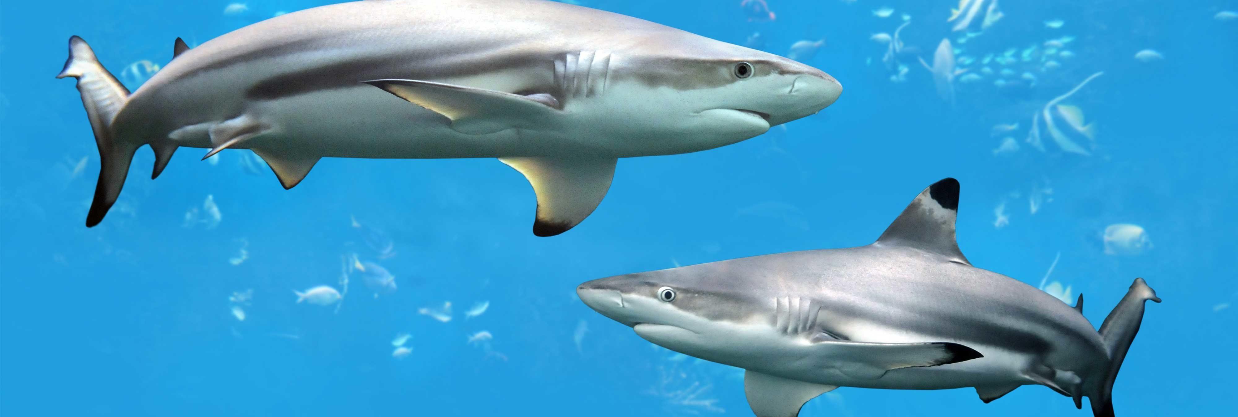 Dos pescadores cortan la cola a un tiburón para que muera lentamente y divertirse en redes sociales