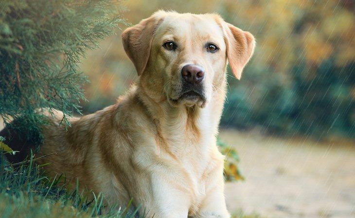 Los perros maltratados eran de raza cruzada labrador retriever