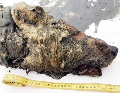 Localizan en Siberia la cabeza de un lobo de 40.000 años con el cerebro intacto