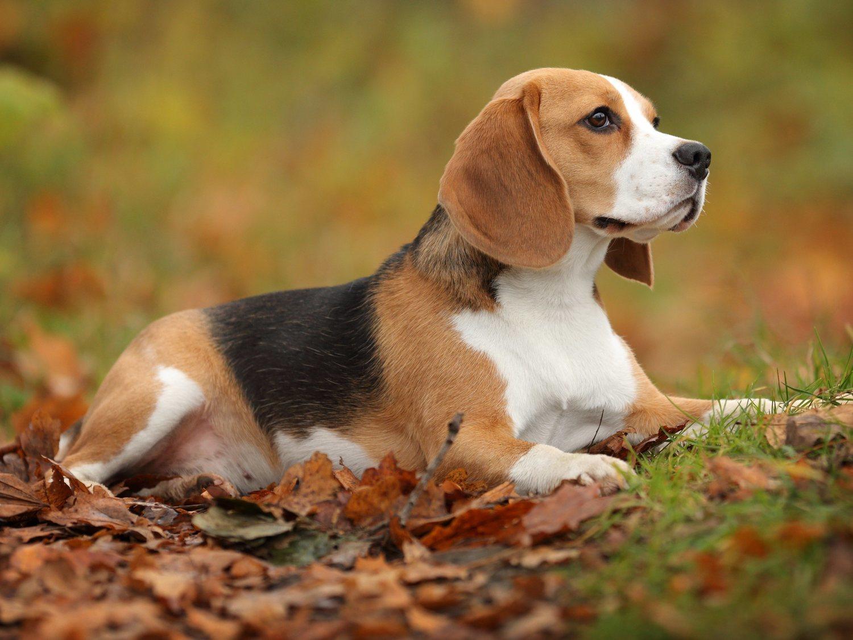 Un estudio revela que el olfato canino detecta el cáncer de pulmón en un 97% de los casos
