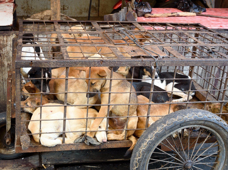 China vuelve a celebrar el macabro festival de la carne de perro cocinando a un millar