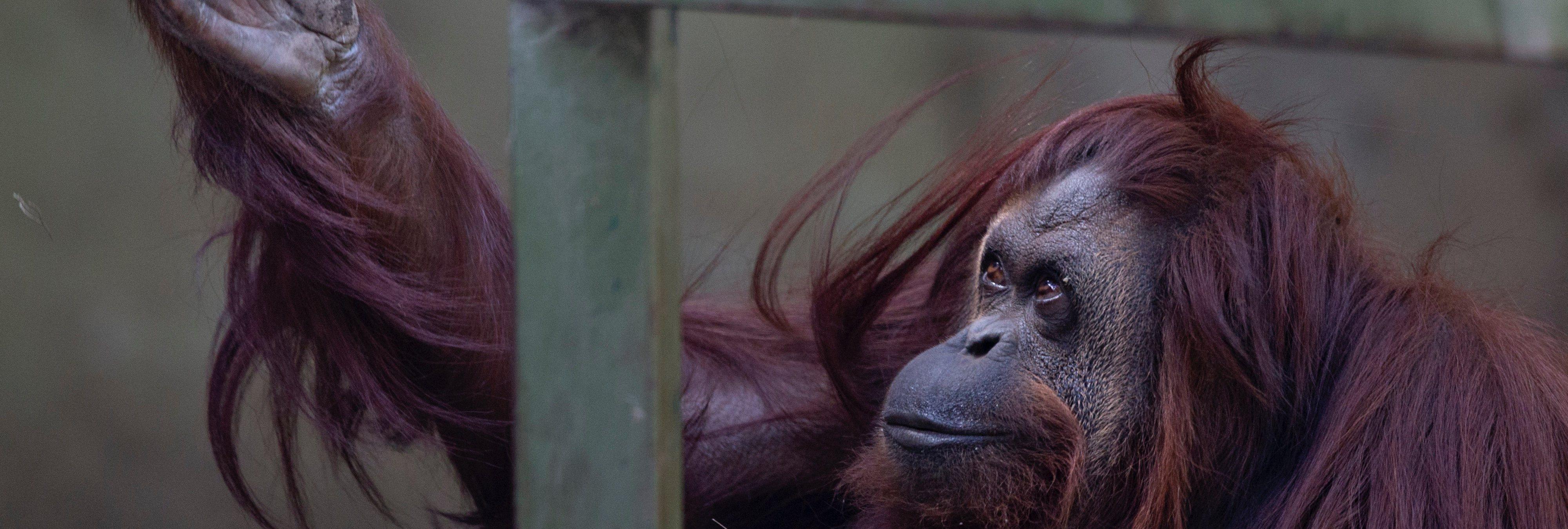 """Esta es Sandra, la primera orangutana reconocida como """"persona"""" en el mundo"""