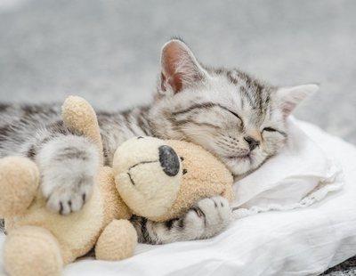Muere una gatita de dos meses después de que le metieran petardos en el hocico