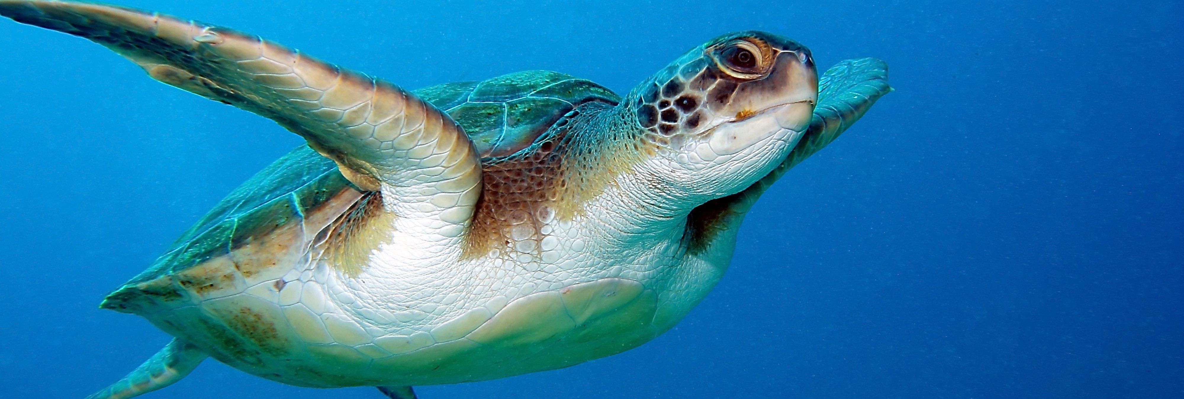 Montan una tortuga laúd: un nuevo caso de terrible maltrato animal