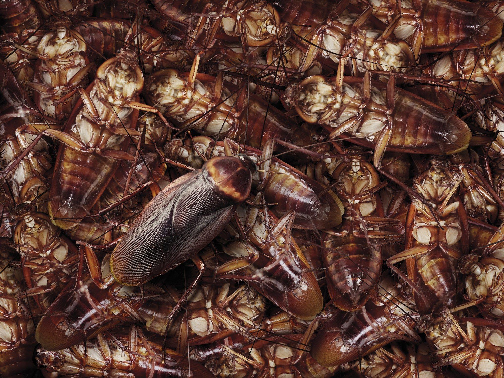 Las cucarachas se están volviendo invencibles y muy pronto será imposible acabar con ellas