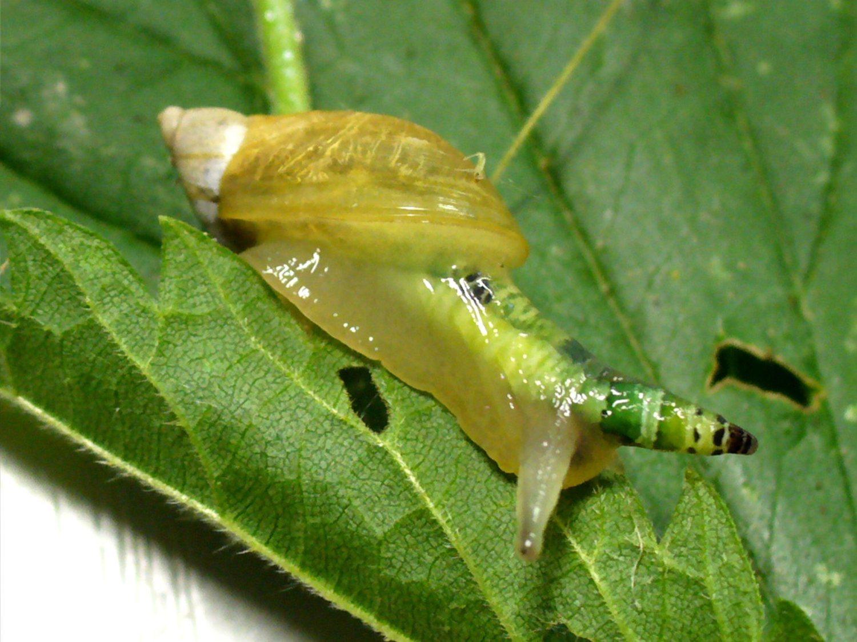 El parásito 'zombie' que domina el cerebro de los caracoles y los dirige hacia su propia muerte