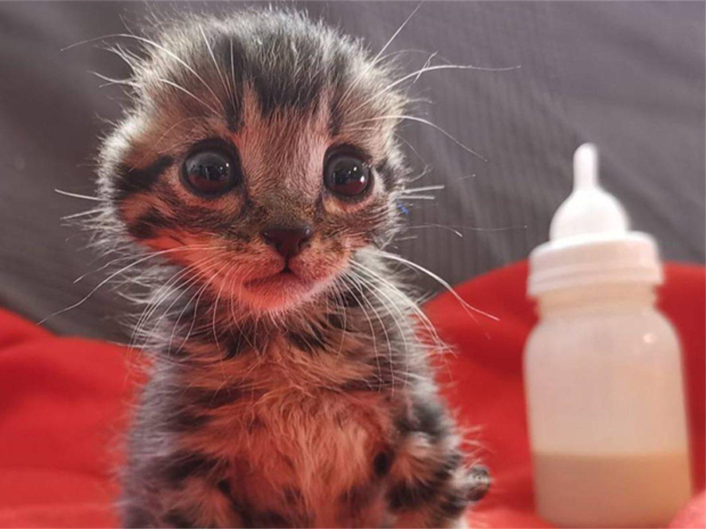 Nano, el gatito de Toledo al que amputaron las orejas, encuentra finalmente una familia