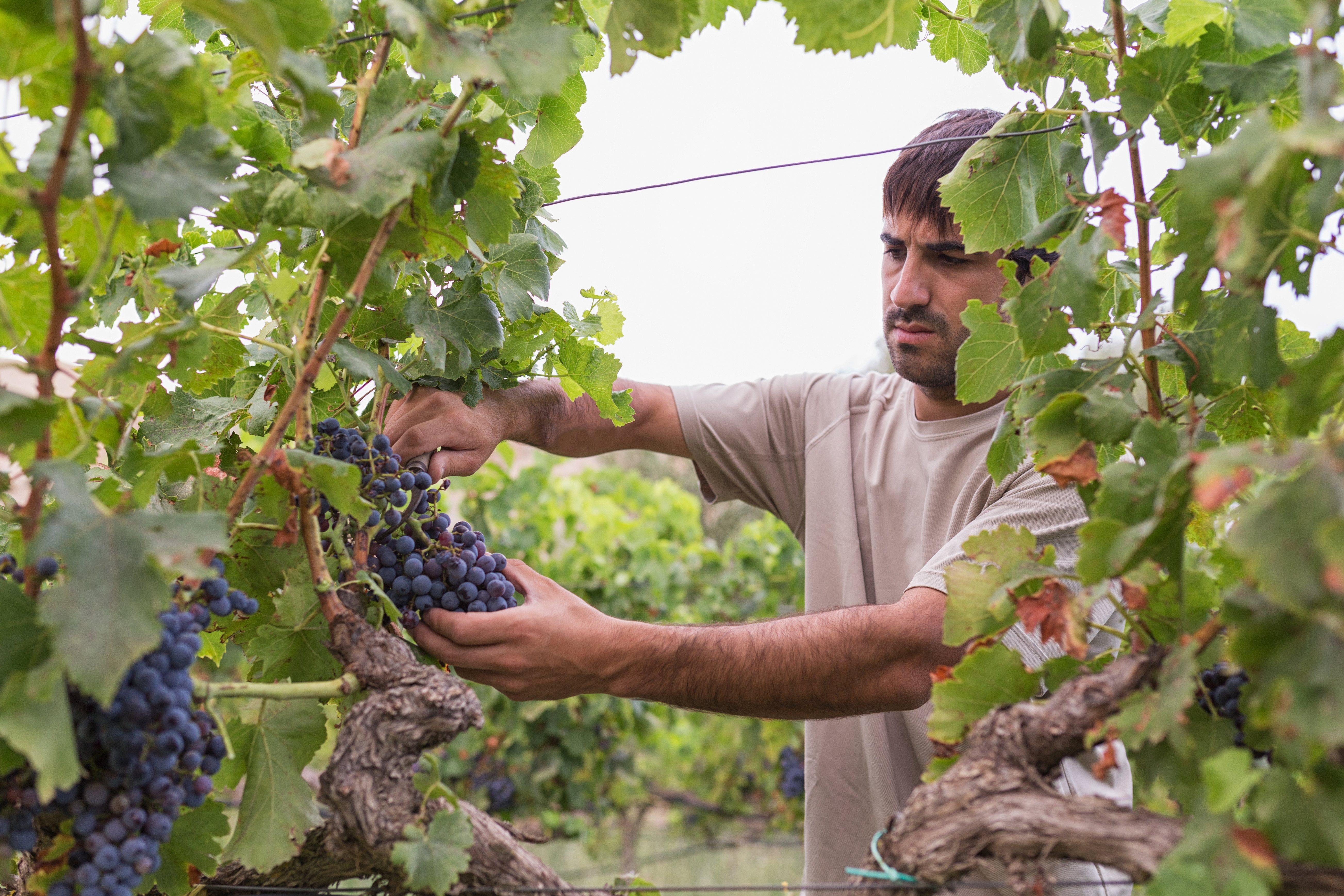 El cambio climático influye en las cosechas de uva