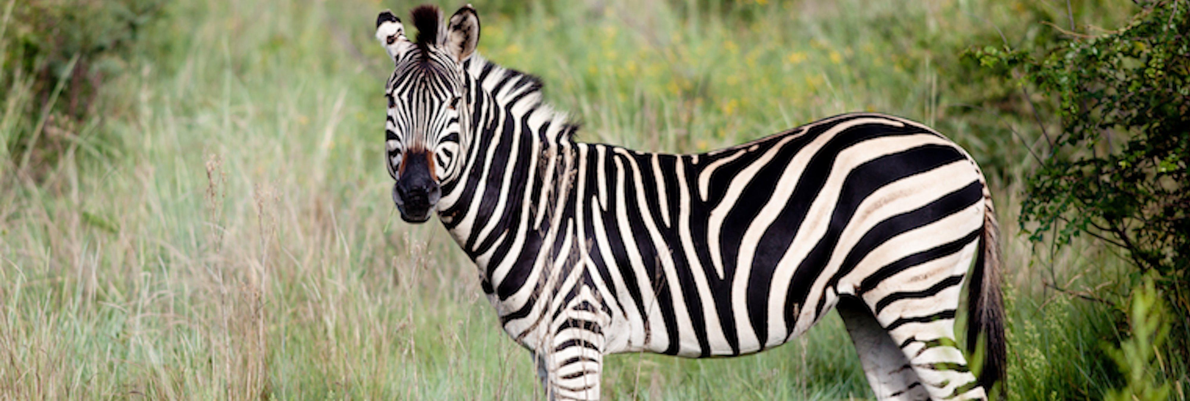La rayas de las cebras tienen una función y la ciencia la ha descubierto