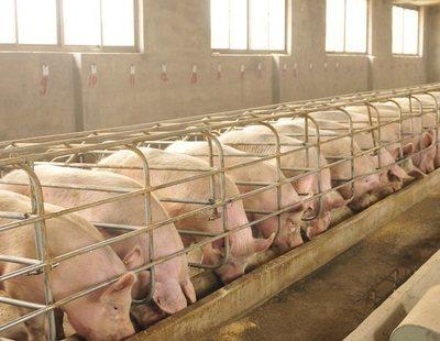 Alerta sanitaria: Carne de cerdo española infectada con peste porcina