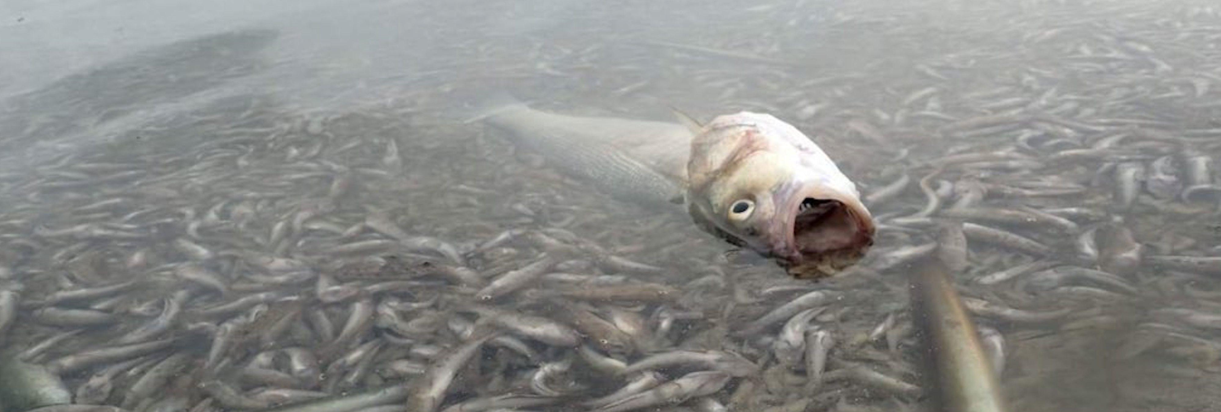Desastre en Murcia: más de 2.500 kilos de peces y crustáceos muertos en el Mar Menor