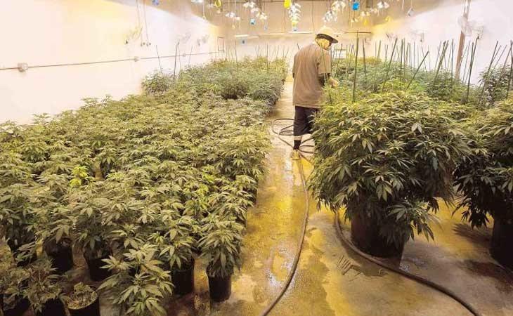 Creación de empleos directos e indirectos con la marihuana