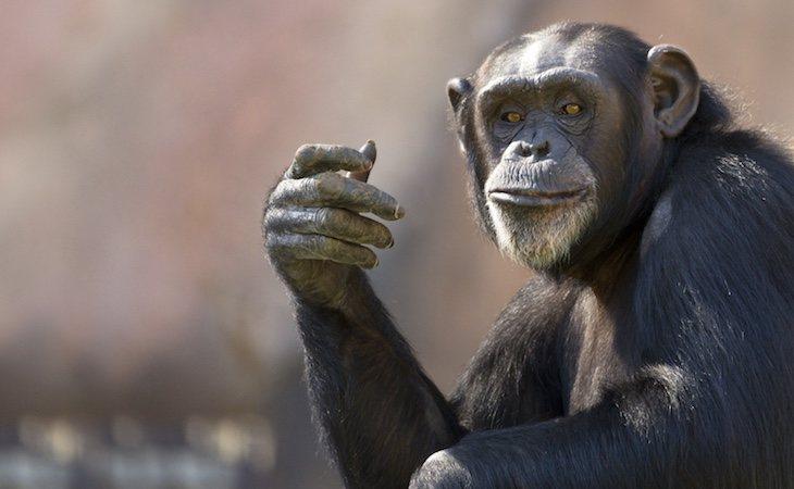 Compartimos el 99% de cromosomas con los monos