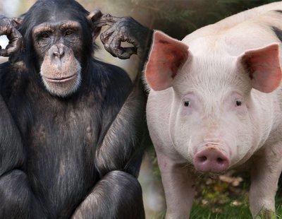 Procedemos del cruce entre el mono y el cerdo, según un científico