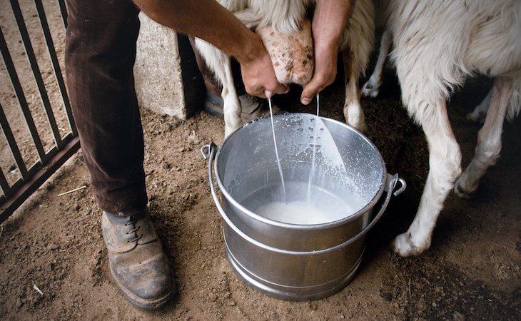 La leche de oveja es de las más calóricas y grasientas