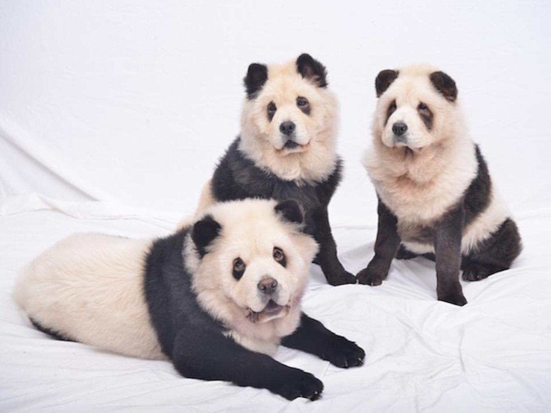 Perros pintados como pandas: los 'pandogs' que han despertado la polémica en China