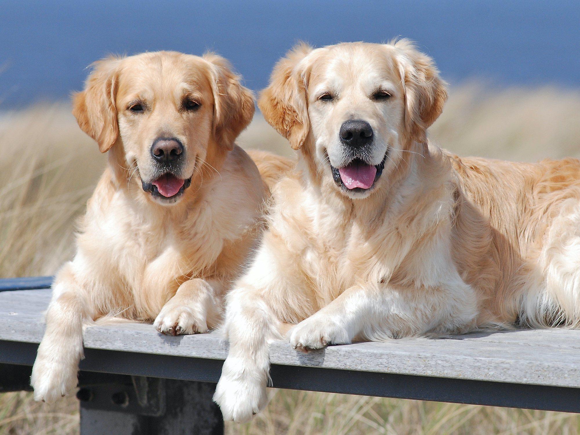 Jugosa oferta de trabajo: 35.000 euros al año por cuidar a dos perros