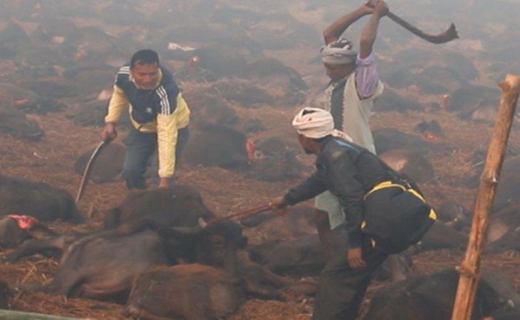 Cientos de carniceros nepalíes degollan animales con un khukuri