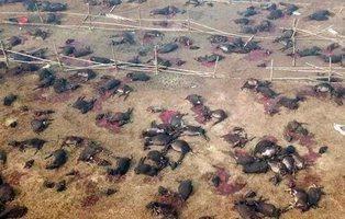 Así es la mayor matanza de animales del mundo en Nepal: 300.000 animales son degollados