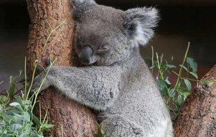 Adopta un koala: Así puedes ayudar en mitad de los devastadores incendios de Australia