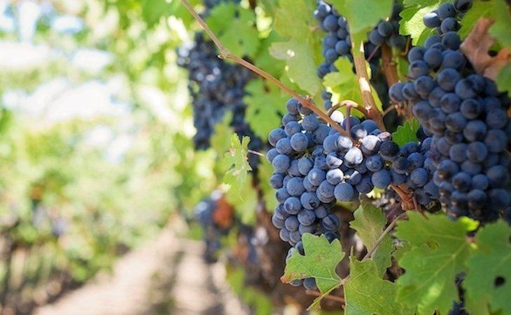 Las uvas tienen nutrientes capaces de reducir la inflamación
