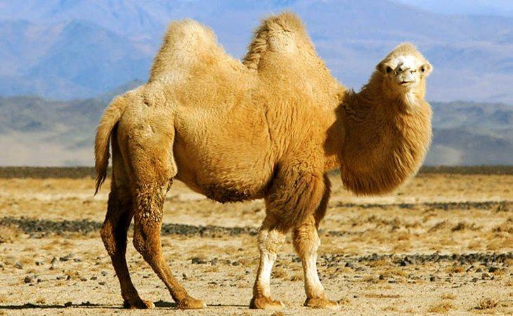 Los camellos almacenan agua en la sangre, no en las jorobas