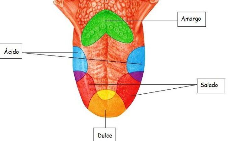 Los receptores que captan los gustos se sitúan por toda la lengua