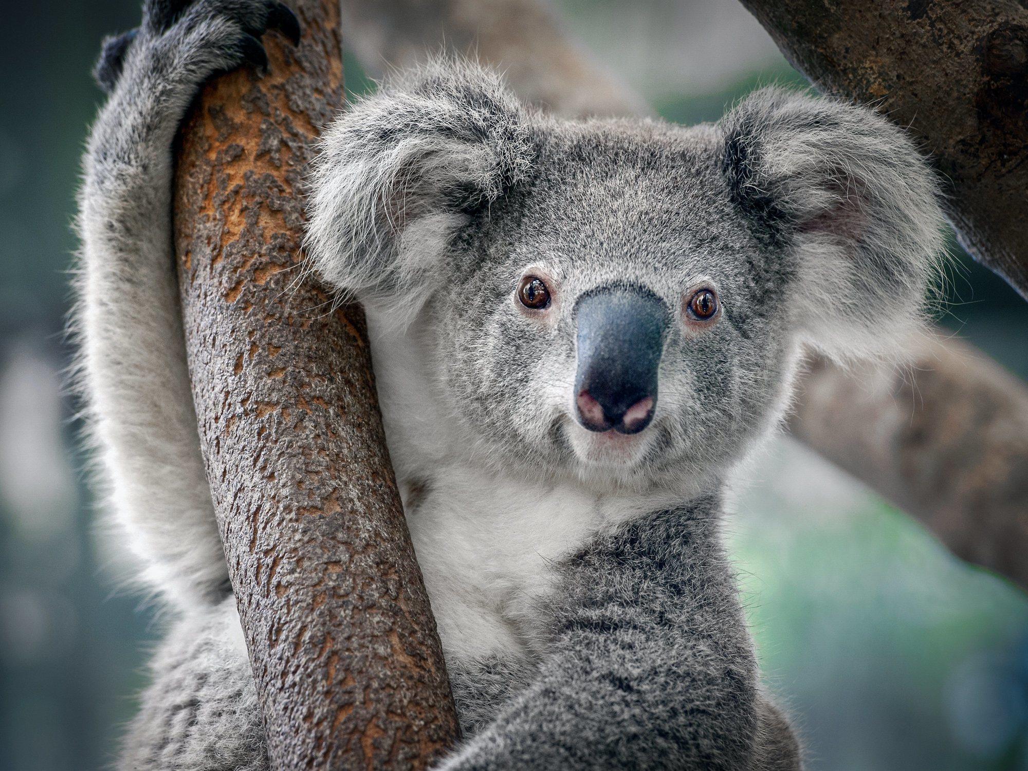 #KoalaChallenge: el nuevo reto viral para ayudar en los incendios de Australia