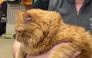 Bazooka, el gato gigante de 16 kilos, comienza una dieta en su nuevo hogar
