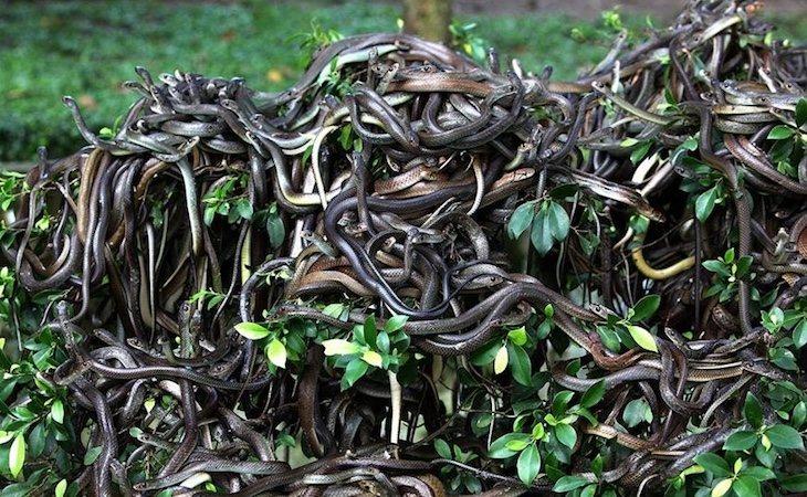 Hay miles de serpientes en la isla