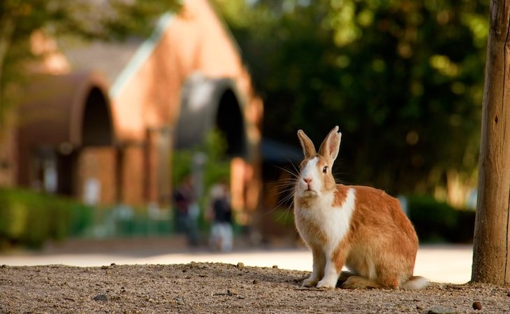 Okunoshima es la isla de los conejos
