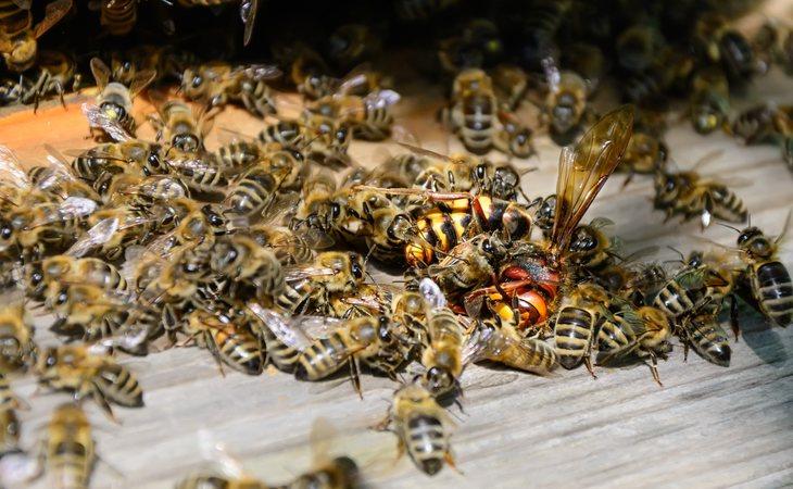 Un enjambre de avispones asesinos casi matan a un apicultor