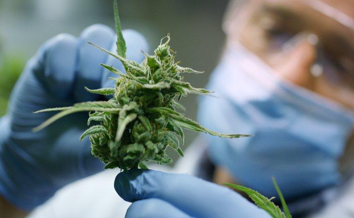 El cannabis ayudaría en la prevención y tratamiento del coronavirus