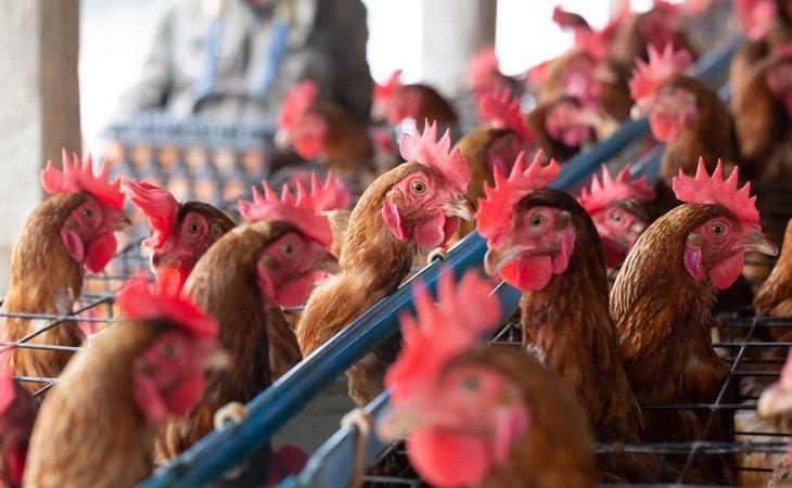La cría intensiva de pollo genera el caldo de cultivo para una futura pandemia