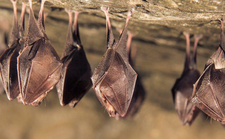Los murciélagos es una de las especies más investigadas por los científicos
