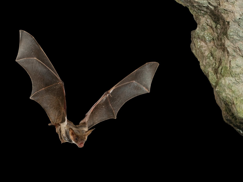 Hallan cientos de nuevos coronavirus en murciélagos de China