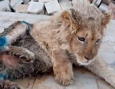 Le rompe las patas a un cachorro de león para que los turistas se hagan fotos con él