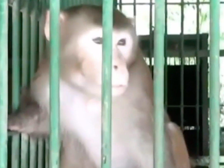 Un mono alcohólico mata a mordiscos a un hombre tras herir a 250 por abstinencia en India