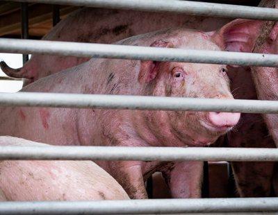 """Detectan en China una cepa de gripe porcina desconocida con """"alto potencial pandémico"""" en humanos"""