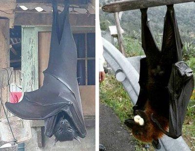 El aterrador murciélago gigante de 1,70 metros: es real y sacude las redes