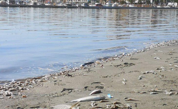 Peces muertos en el Mar Menor (Murcia)