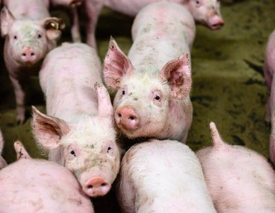 Descubren un hongo en cerdos y jabalíes españoles con gran potencial de infectar a humanos