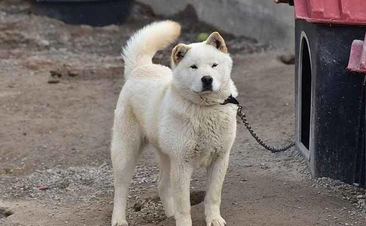 Se acabaron los perros como mascota en Corea del Norte